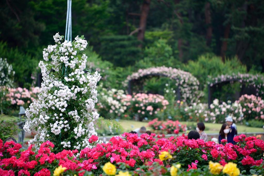 群馬県前橋市の大型都市公園・敷島公園。敷島公園は県が管理する陸上競技場やサッカー場、水泳場などのエリアとボート池や松林など市が管理するエリアに分かれていて、バラ園は市が管理しています。無料でだれでも気軽に楽しめるバラ園ですが、バラの数は約600種7,000本ととても充実した規模を誇ります。毎年春のばら園まつり・秋のばらフェスタが開催され、多くの人を楽しませています。