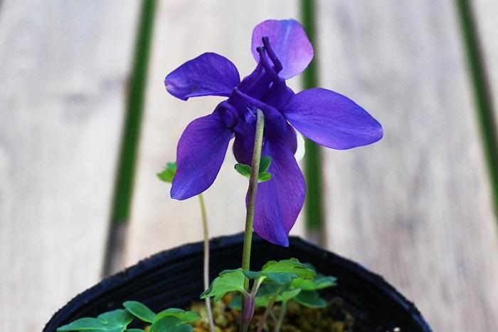 花の後ろは絵本に出てくるコビトの帽子みたいでとってもかわいいんです!  置く場所は午前中は日が当たり、午後は明るい日陰になるような場所が最適です。真夏の暑さには注意が必要で、遮光ネットなどでおおうなどの工夫が必要です。水やりは、鉢植えの場合は土が乾いたら与えますが、庭植えの場合はよほど日照りが続かない限り雨のみの管理で大丈夫です。