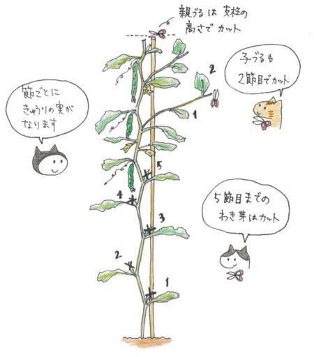 主に親づるに実をつけるため、主枝1本を支柱の高さまで伸ばしていきます。  親づる…5節目までのわき芽はとり、支柱の高さで摘芯。 子づる…2節目で摘芯。  ちなみに摘芯とは…  ミニトマトと同様に頂芽をカットし芯(主枝)を止めることです。摘芯することで、わき芽・側枝の生育を促します。
