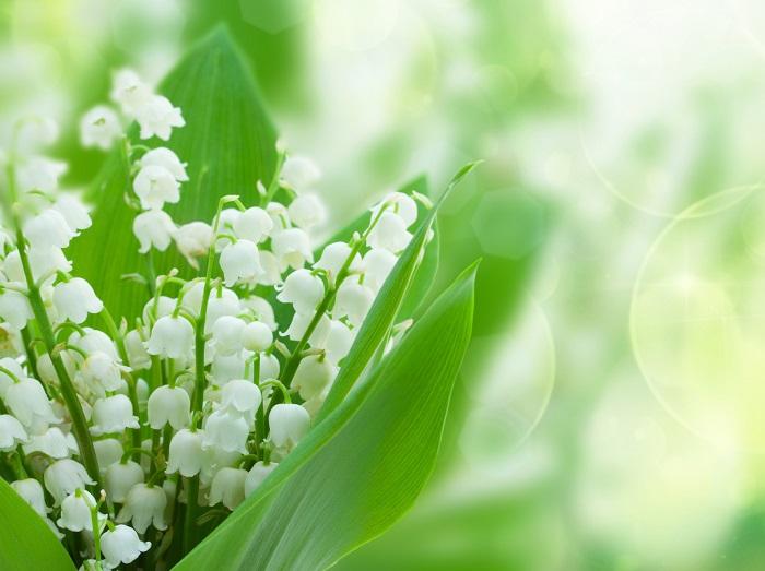 ユリ科の耐寒性多年草。花期は4~5月で、日向から半日蔭、保水性のある用土を好みます。