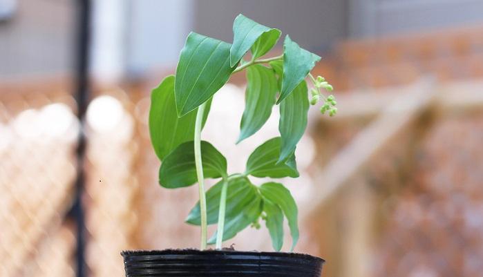 ユリ科の多年草で山地の林内に生えます。地下に根をしっかり張ります。この写真は蕾ですが、白い小さな花が花火のように咲くそうです!山菜として食べる地方もあり、北海道では「アズキナ」という名で呼ばれて春の山菜としてよく食べられているそうです。