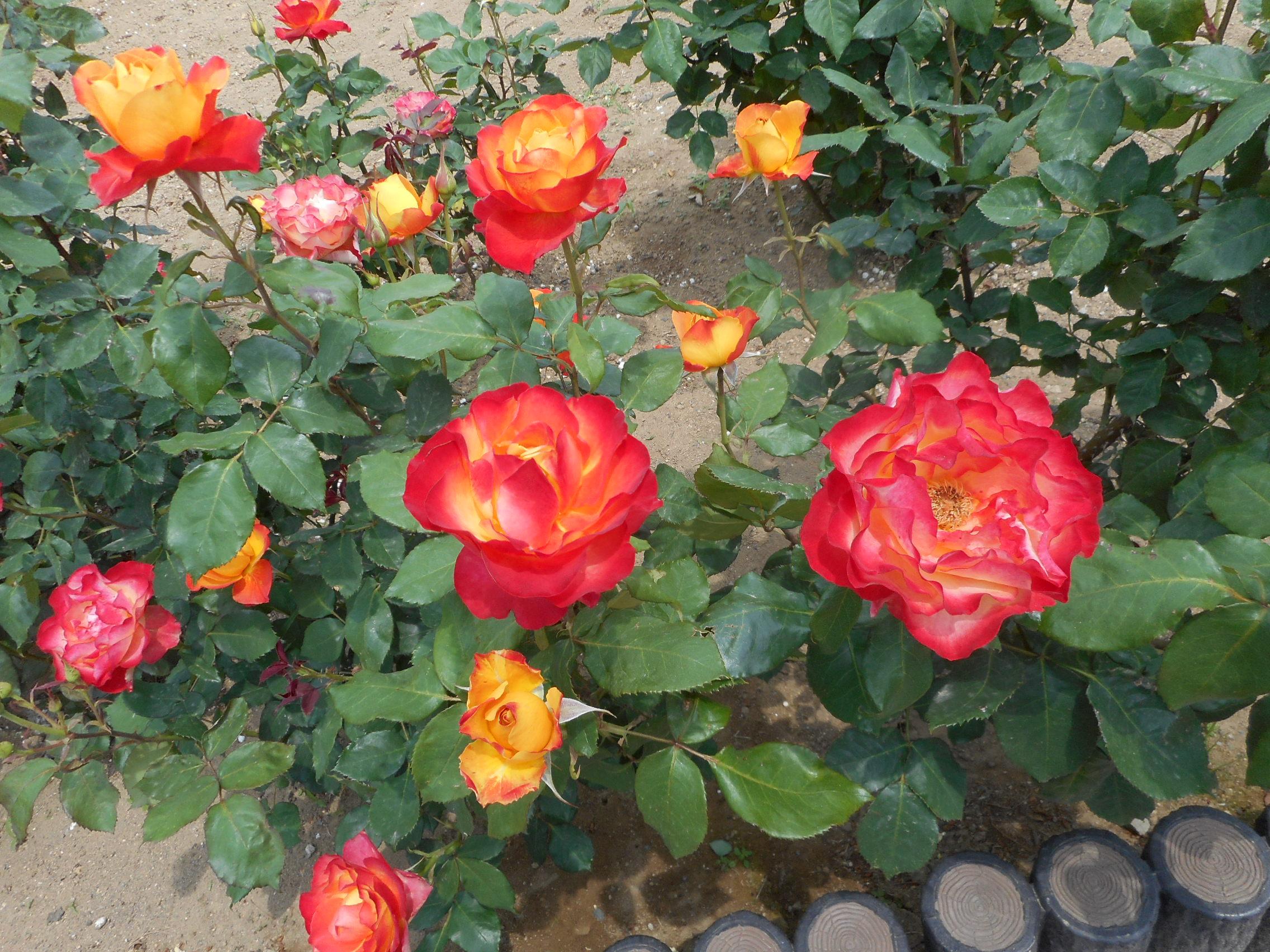 前橋市オリジナルのバラの品種「あかぎの輝き」。平成20年に開催された「全国都市緑化ぐんまフェア」を記念して誕生したそうです。