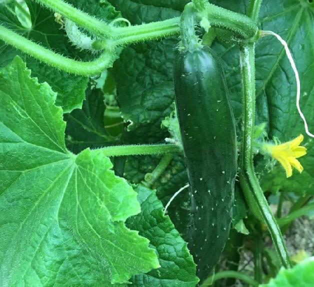 キュウリは6月には収穫が始まり、春夏栽培の野菜苗の中では一番早く収穫を迎えます。どんどん苗が生長してくると、あっという間につるを伸ばし密植状態になりますのでうどん粉病などにならないように注意が必要になってきます。  ここでキュウリの部位について説明します。