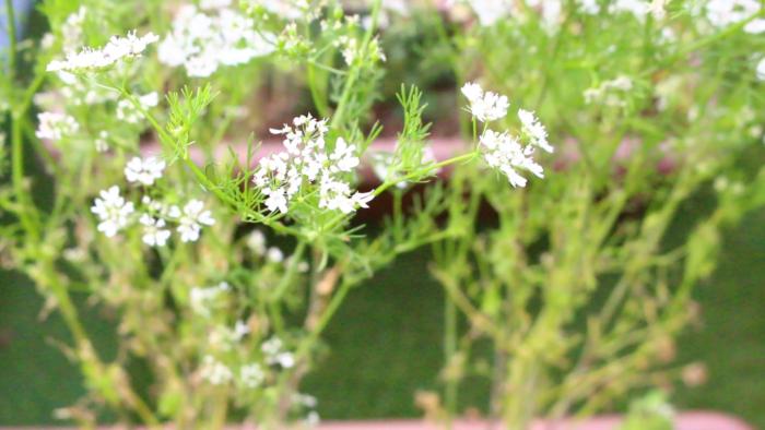 パクチーの花  花が咲いてしまうと葉が硬くなるので、このまま種を収穫します。  他に、花は花瓶に挿して飾ったり、エディブルフラワーとして食べることもできるので、お皿に素敵に盛り付けてみてもいいですね。