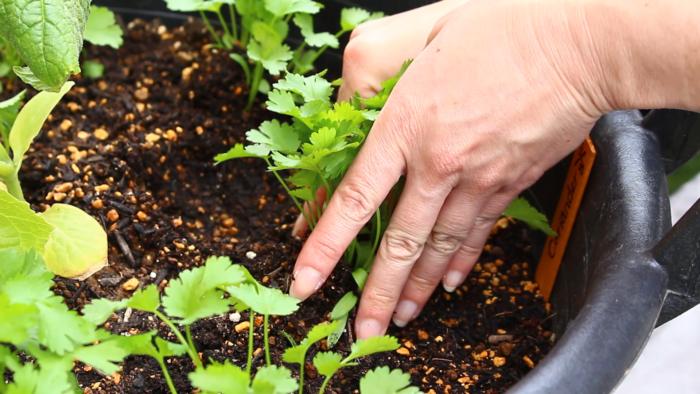 パクチーが大好きな方は、サラダに、お肉に、スープにと毎日毎食パクチーが食べたいですよね。  パクチーは春夏・秋冬に種をまく時期があり1年を通して栽培できますが、花芽が出来れば種を作り枯れていきます。そのため、特に春は種まきの時期を少しずらすことでパクチーの収穫時期を増やしたいと思います。  パクチーの種まき パクチーは移植を好まない直根型の植物なので直まきか早めの植え付けを心がけましょう。日当たりの良い環境、または半日陰でも育ちます。  パクチーはやや湿り気のある肥えた土を好むため、sana gardenではきゅうりの苗と混植して育てています。