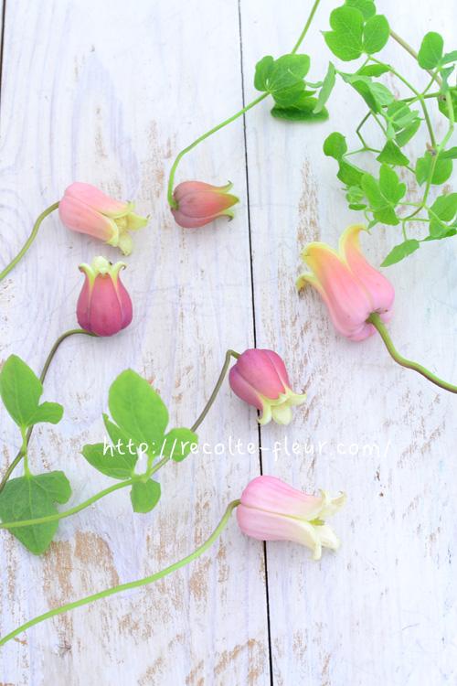ヴィオルナ系、テキセンシス系のクレマチスは実生のものが多いので、同じ品種でも個体差があるのも特徴のひとつです。咲き方が「スレンダー」だったり、「ぷっくり」としていたり・・・。色も同じ品種でも微妙に違ったりしますので、お気に入りのものを探すのもこの系統ならではの楽しみです。