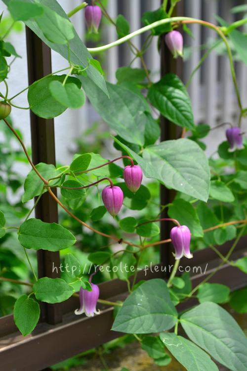 この系統のクレマチスは剪定してから1~2か月後に返り咲く性質です。たくさんの回数を楽しみたい場合は早めの剪定をして、次の開花用のツルを育てていきます。