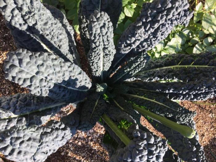 ケールのように葉を広げて上に向かって生長します。冬の寒さにより葉の凸凹が強くなり、甘みが増します。  植え付け:9月  収穫:12月中旬~