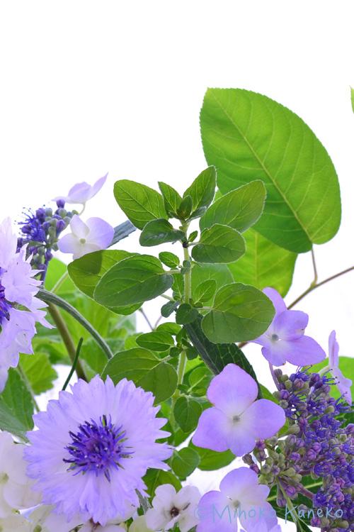 初夏はハーブが美しい季節です。スパイスで使うオレガノは、立性で丈が高くなりますが、このオレガノは、丈が低めでこんもりと咲くタイプのオレガノ。葉っぱが黄緑色で花壇や寄せ植えに使うときれいです。