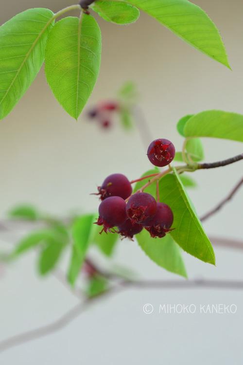ジューンベリーの実。花市場には赤い実の状態の時に出回りますが、実際に生で食べておいしいのは、実が黒くなってから。生で食べてもおいしいですよ。元々の分類としては落葉小高木ですが、最近矮性種も出来ました。