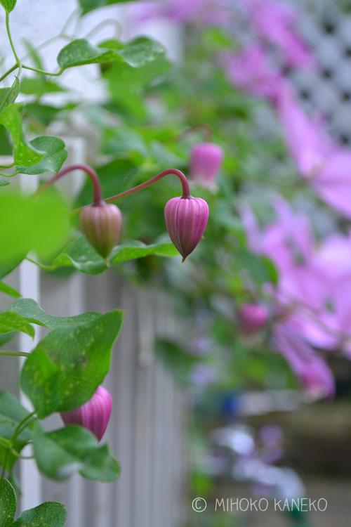 最初は数ミリの緑の小さなつぼみが徐々に膨らみ、次第に写真のように色づいてきます。東京だと一番花は、5月中旬くらいです。