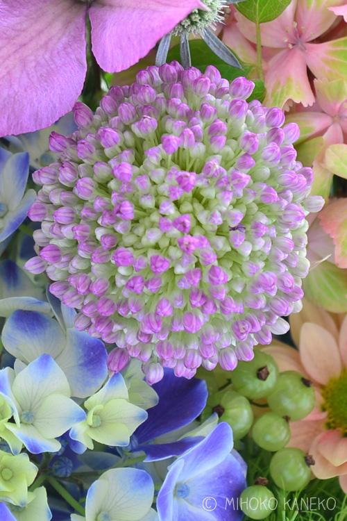 アリウム・ギガンチウムは、小さなつぼみをたくさんつけた球状の形態をしています。花市場にやってくる時は、つぼみの状態で入荷します。サイズは花によっても差がありますが、ゴルフボールより少し大きいくらい。つぼみの時点では、さほど大きな花ではないのです。アリウム・ギガンチウムは、庭に植えると1メートルくらいの丈になる花なので、花茎は長い状態で入荷します。