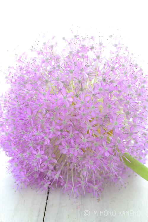 初めてこの花を生けると、あまりの変化と巨大さにびっくりする方も多い花です。