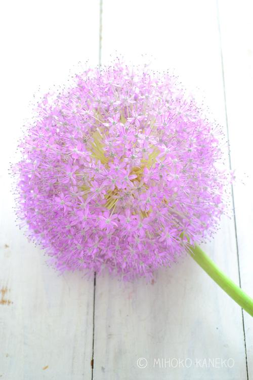 小さなかわいい花が無数に開花します。開花すると花のサイズは、つぼみの3~5倍のサイズに!ゴルフボールサイズからソフトボールサイズに変化します。