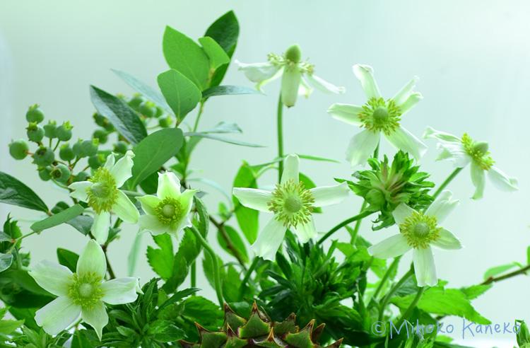 白い花は宿根草のアネモネバージニアナ。アネモネというと春に咲く球根の花が一般的ですが、このアネモネは東京だと6月~7月に開花する宿根草です。