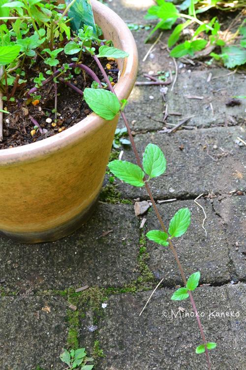 植えてしばらくすると、ミントはランナーが出てきます。ランナーとは、匍匐枝(ほふくし)と呼ばれるツルで、株元から伸びたランナーの葉っぱの下が発根して根付き、新しい株として増えていきます。ランナーは鉢の中に誘導しておかないと、鉢から外に飛び出して、地面に接地すると、しばらくすると根付いてしまいます。鉢の中に収めるか、カットします。