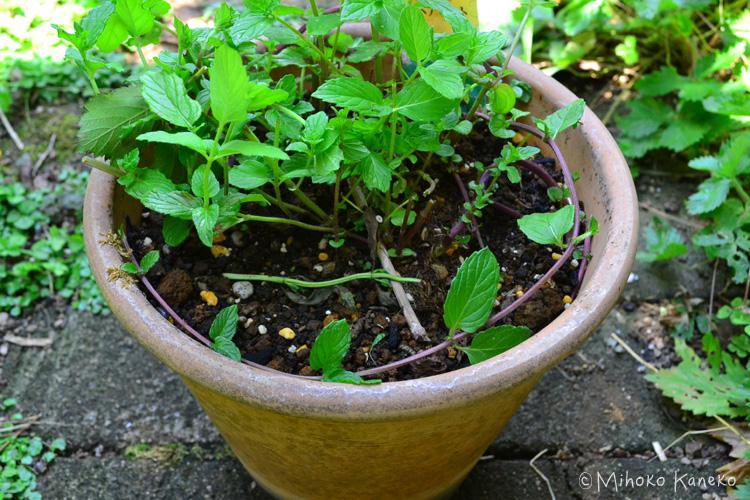 ミントを限られたスペースで育てたい方は、鉢植えで育てることをおすすめします。