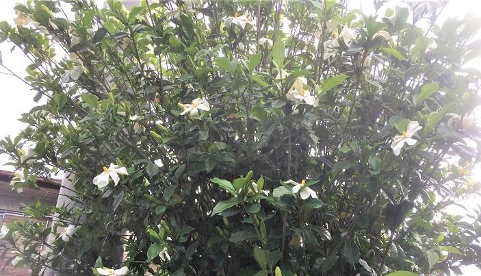 オオスカシバの成虫はさまざまな花で蜜を吸いますが、幼虫はクチナシの葉や花芽が大好きです。なので幼虫を探す場合、クチナシの木を探すと見つかる確率が高いです。