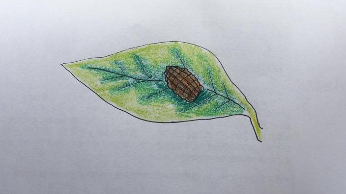 オオスカシバの幼虫は、大きい体に見合った立派なフンをします。どうしたらこの形状になるんだろう?と思うような工芸品のようなフンです。まるで手榴弾のようなその形。フンも、若齢幼虫の頃は小さめですが、終齢幼虫の頃になると5mmくらいの巨大なフンをします。