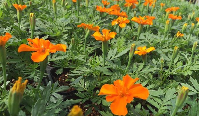 初夏から秋にかけて花壇を鮮やかに彩るマリーゴールドは、家庭菜園ではコンパニオンプランツとして良く育てられています。