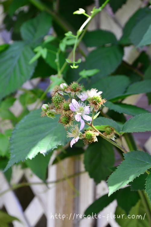 ピンクの花が開花します。ブラックベリーはたくさんの品種があり、品種によって花の色は違います。  花びらが落ちると、中心部分がぷっくりと実になっていきます。
