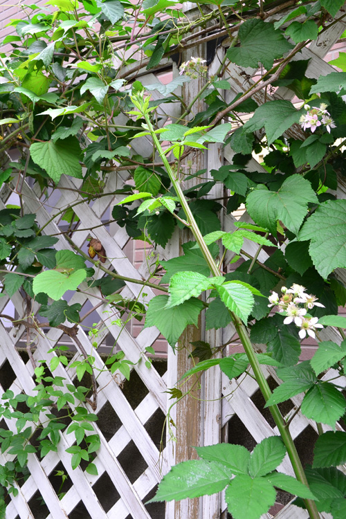 夏場のブラックベリーは、新しいシュートがぐんぐんと生長します。1.5m~2mは直立で伸ばして、その後は地面に対して平行にツルを誘引していきます。