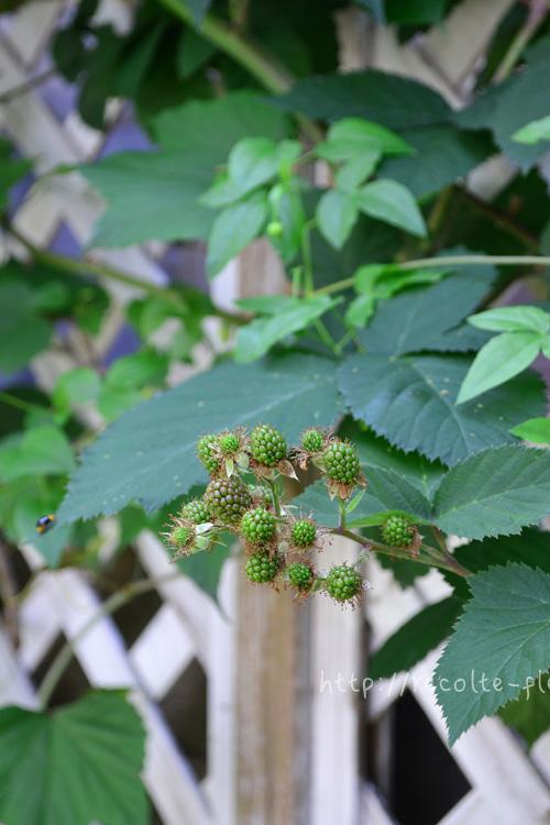 緑の実が少しずつ膨らんでくるとともに、赤みがさしてきます。