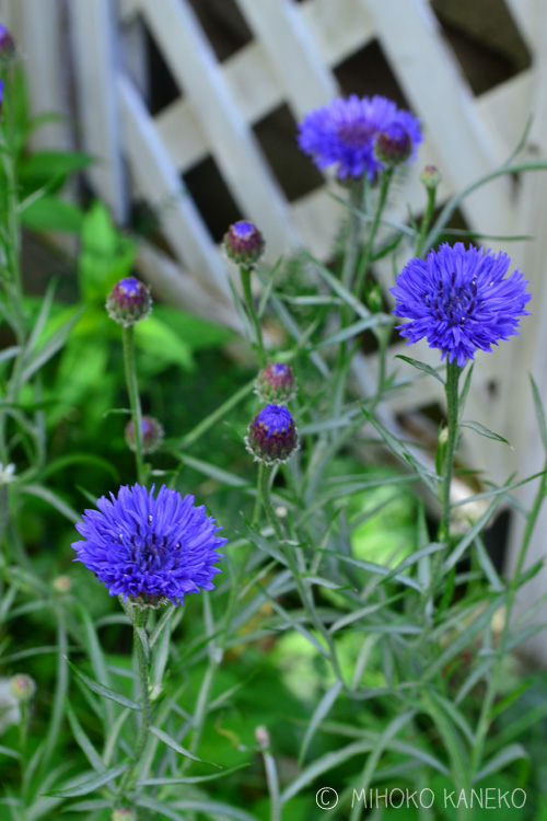 こちらがスタンダードなブルーのヤグルマギク。切り花の他、苗ものとしても高性から矮性まで色々あります。苗としての出回りは、春早く~初夏の入り口まで。生けても素敵なので育ててみてはいかがでしょうか。