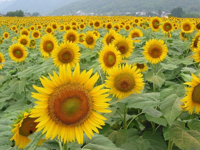 兵庫県佐用町(さようちょう)では、南光地域の6地区で時期・場所をずらし合計約120万本のひまわりが開花します。