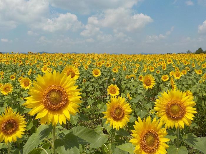 兵庫県小野市にあるひまわりの丘公園では、公園南側にある広大な畑一面に約38万本のひまわりが咲き誇ります。また秋にはコスモス畑に模様替えするそう。