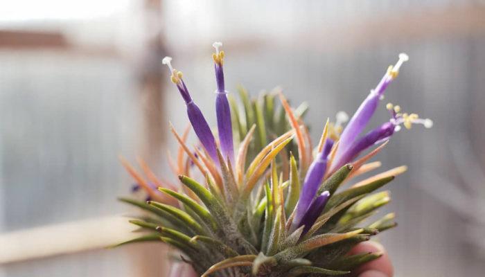 ▲ティランジア・イオナンタ・コロンビアフォーム(Tillandsia ionantha'Colombia Form') 本来であれば一般的なティランジア・イオナンタと同様に開花時に赤く紅葉しますが、日陰に置いていたため綺麗に染まっていません。