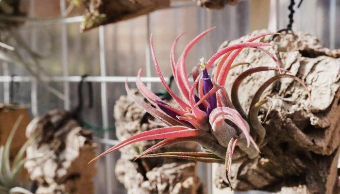 ▲ティランジア・プラシェキー(Tillandsia praschekii) 開花時に株全体が赤く染まるキューバ原産のティランジア。ティランジア・イオナンタに似ていますが、開花時にティランジア・カピタータのような花序が上がってくることで区別できます。