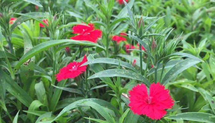 ナデシコ  販売期間:4~10月  おすすめポイント  ・花は食べると、ほんのりと甘みを感じる。  ・白、ピンク、赤の愛らしいカラーが充実している。