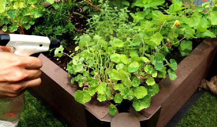 新芽や葉の裏にアブラムシがたくさんつくことがありますが、他の花と比べて、ボリジは病害虫の被害は少ない方だと思います。  日ごろから木酢やニームなどを塗布して予防に心がけましょう。