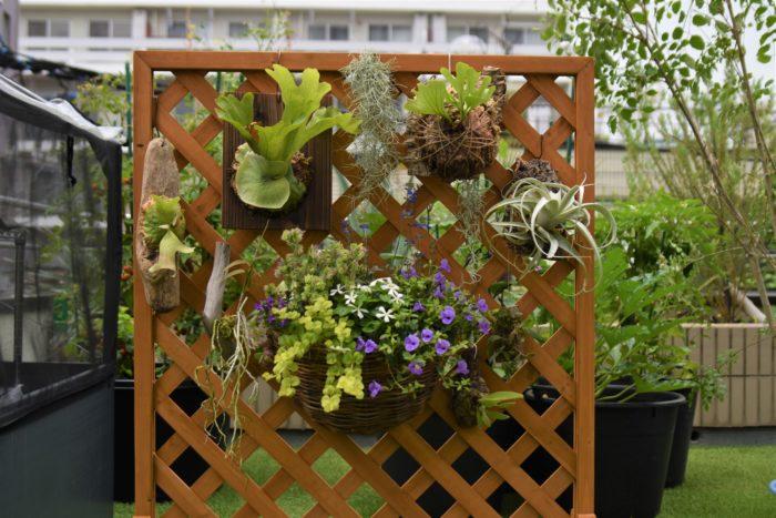 ラティスはホームセンターやインテリアショップなどで購入することが出来ます。また、小さいものであれば百均で買うこともできます。  基本的に特別なテクニックは必要ありません!  自分の好みに合わせて植物たちをラティスに飾ってみて下さい。  着生植物たちの中に、普通の草花の寄せ植えを入れても面白いですよ。
