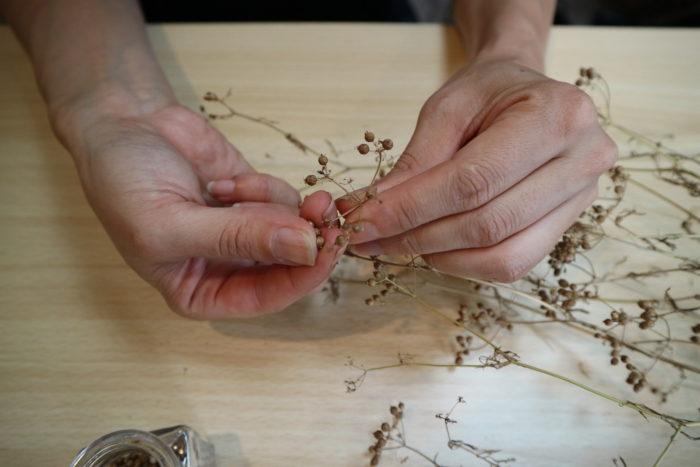 しっかり乾燥させたら、枝から種を取ります。