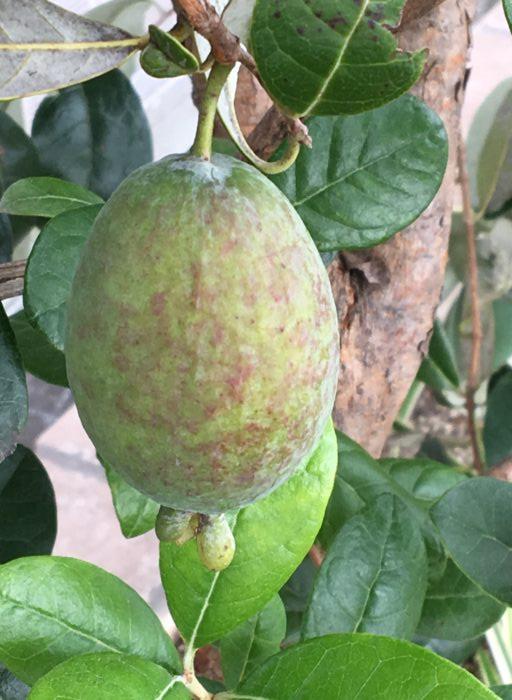 品種によって時期は異なりますが、収穫は10月下旬~11月上旬頃です。  (1本でなる品種もありますが、2品種以上を混植するとより実つきが良いです。)
