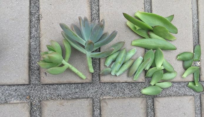 葉と挿し穂は分けましょう。