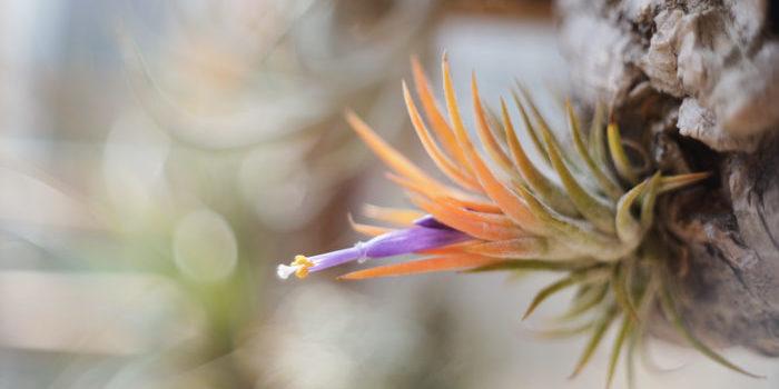 その名の通り、黄桃色に黄葉するイオナンタ。入手は難しいが小型で葉が肉厚な可愛らしい品種です。
