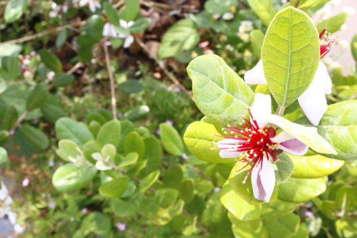 フェイジョアの開花時期は5~6月で、薄桃色の花を咲かせます。  厚みのある、1枚1枚の花びらは内側に巻き込むように咲いています。  フェイジョアの雄しべはブラシ状に多数ありますが、これはフトモモ科の花の特徴です。  私はフェイジョアが花を咲かせると、嬉しくって何度も口にほおばってしまいます♪  でも、あんまり花ばかり食べていてはもったいないですね。