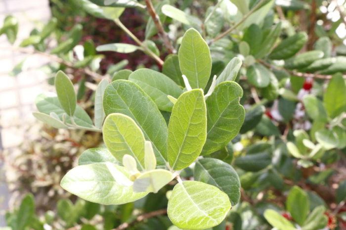 フェイジョアとは、フトモモ科の常緑果樹で、原産地はパラグアイ、ブラジル南部、ウルグアイ、アルゼンチンで、山野に自生しています。