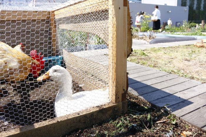 水田の後ろには、鶏たちとも触れ合えます。