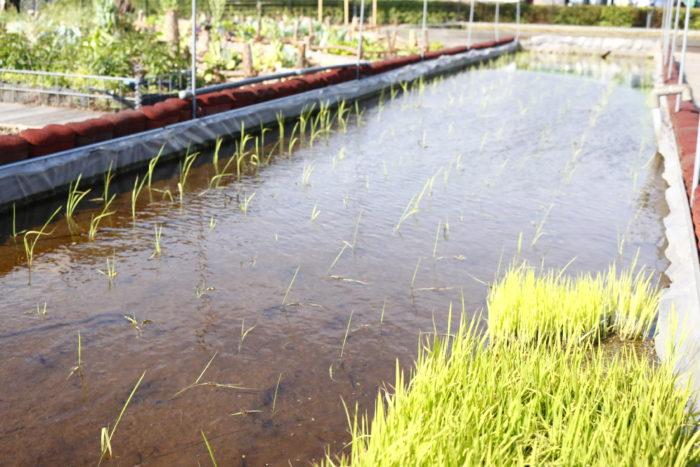 この農園の中央には水田が位置し、これから稲が青々と実り、秋には黄金の稲が首を垂れる風景を見ることができます。