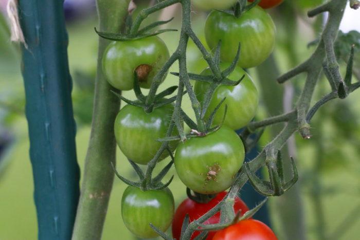ちなみに、こちらはタバコガではなく、ミニトマトが支柱などに当たって皮に傷がついたものですので、ご安心を。