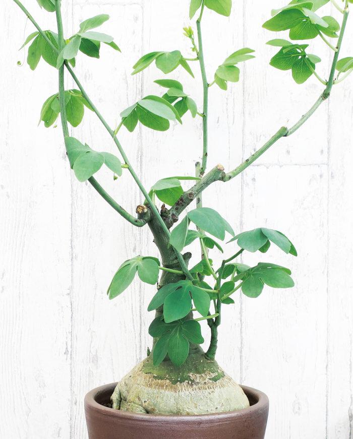 アデニア・グラウカトケイソウ科アデニア属  アデニア属の代表種のグラウカ。初めての方にもおすすめ。和名は「幻蝶かずら」。生育期は夏です。アデニアはトケイソウの仲間なので、塊根植物でもつるを伸ばします。