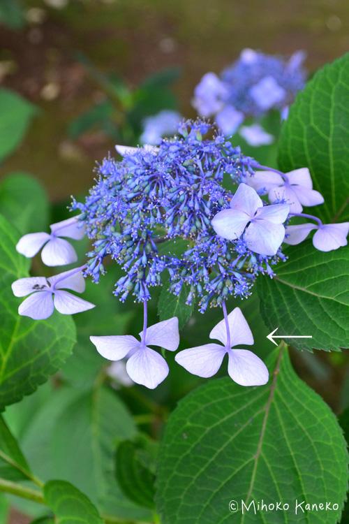 ガクあじさいの場合は、花が終わったことがよくわかる目安があります。それは、花が終わるとガクが裏返ってうつむいてしまうのです。空を向いていた側が、花が終わると地面を向きます。