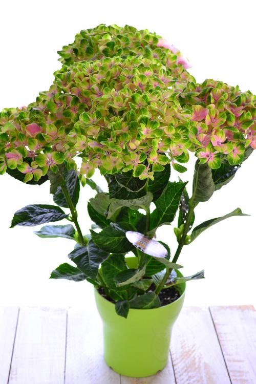 アジサイの鉢植えは花後に剪定と植え替えを必ず行いましょう。