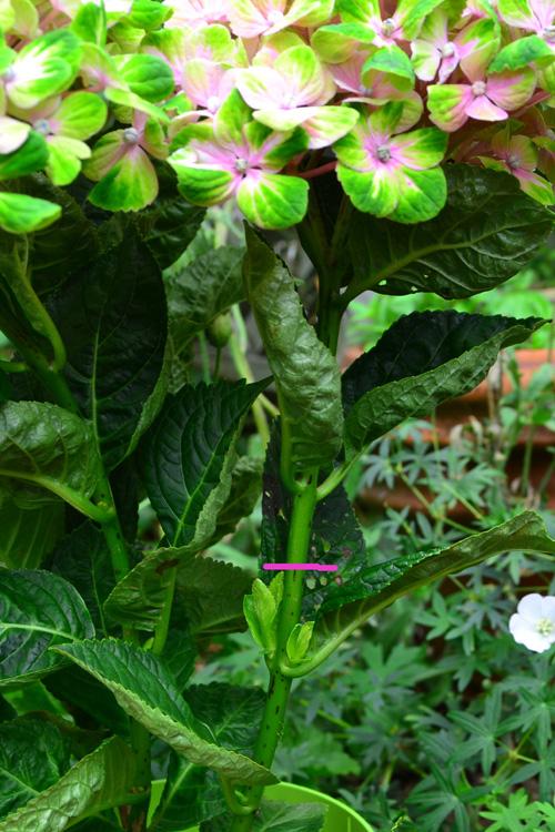 アジサイの花が終わったら、花から2節下の脇芽が出ている上でカットします。(ピンク部分)