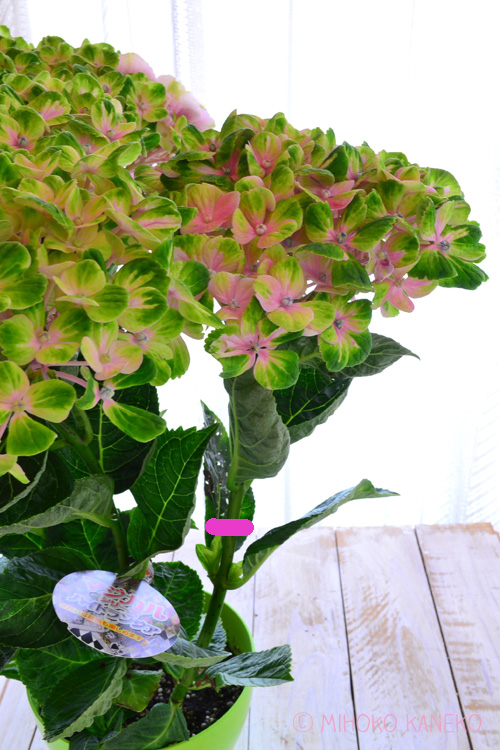 剪定は花から2節下の脇芽が出ている上でカットします。(ピンク部分)