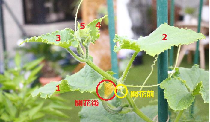 ・草勢の低下~見極めるには?  草勢〇  ・開花後の雌花から、先端までの葉の数が4~6枚ほどある。  ・巻きひげが、ピンとはりがある。  草勢✖  ・枝の先端の葉が、黄色く巻きひげが貧弱。  ・葉に艶がない。